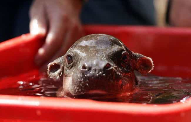 Just Bathing In My Bucke... is listed (or ranked) 2 on the list 17 Times Baby Hippos Redefined Cuteness Overload