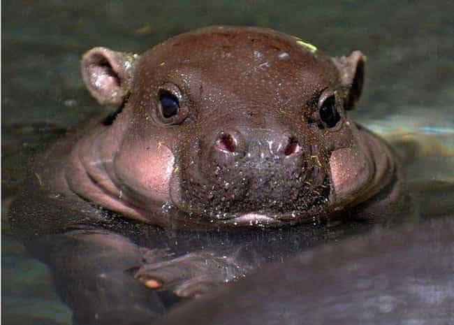 Stealth: This Guy Has It... is listed (or ranked) 1 on the list 17 Times Baby Hippos Redefined Cuteness Overload