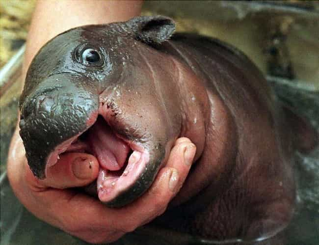 Nom Nom Nom is listed (or ranked) 3 on the list 17 Times Baby Hippos Redefined Cuteness Overload