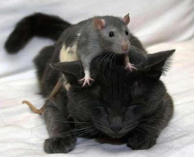 Unconventional Friendship is listed (or ranked) 3 on the list 20 Rats Adorable Enough To Destroy Your Rat Phobia
