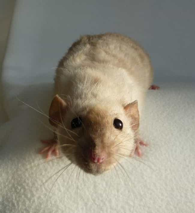 Do You Have A Cheese? is listed (or ranked) 3 on the list 20 Rats Adorable Enough To Destroy Your Rat Phobia