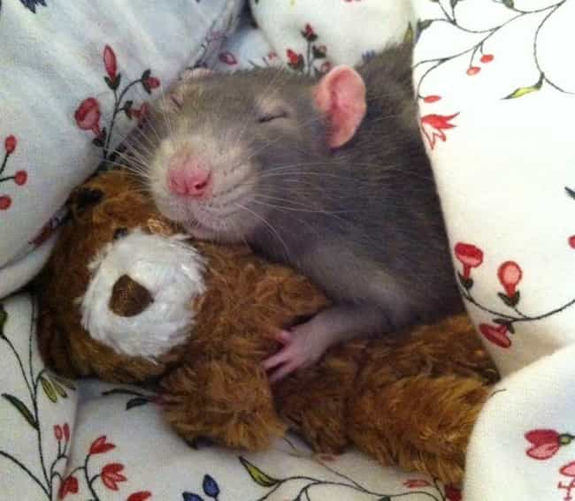 A Rat And His Teddy Bear is listed (or ranked) 1 on the list 20 Rats Adorable Enough To Destroy Your Rat Phobia