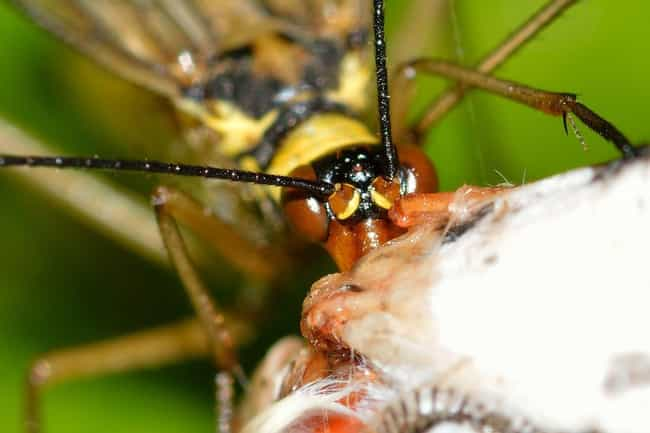 Homicide Detectives Use Them T... is listed (or ranked) 4 on the list Scorpionflies Exist, And They're Every Bit As Terrifying As You'd Imagine