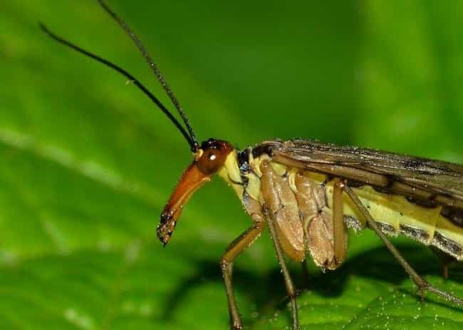 They Are Neither Scorpions Nor... is listed (or ranked) 1 on the list Scorpionflies Exist, And They're Every Bit As Terrifying As You'd Imagine