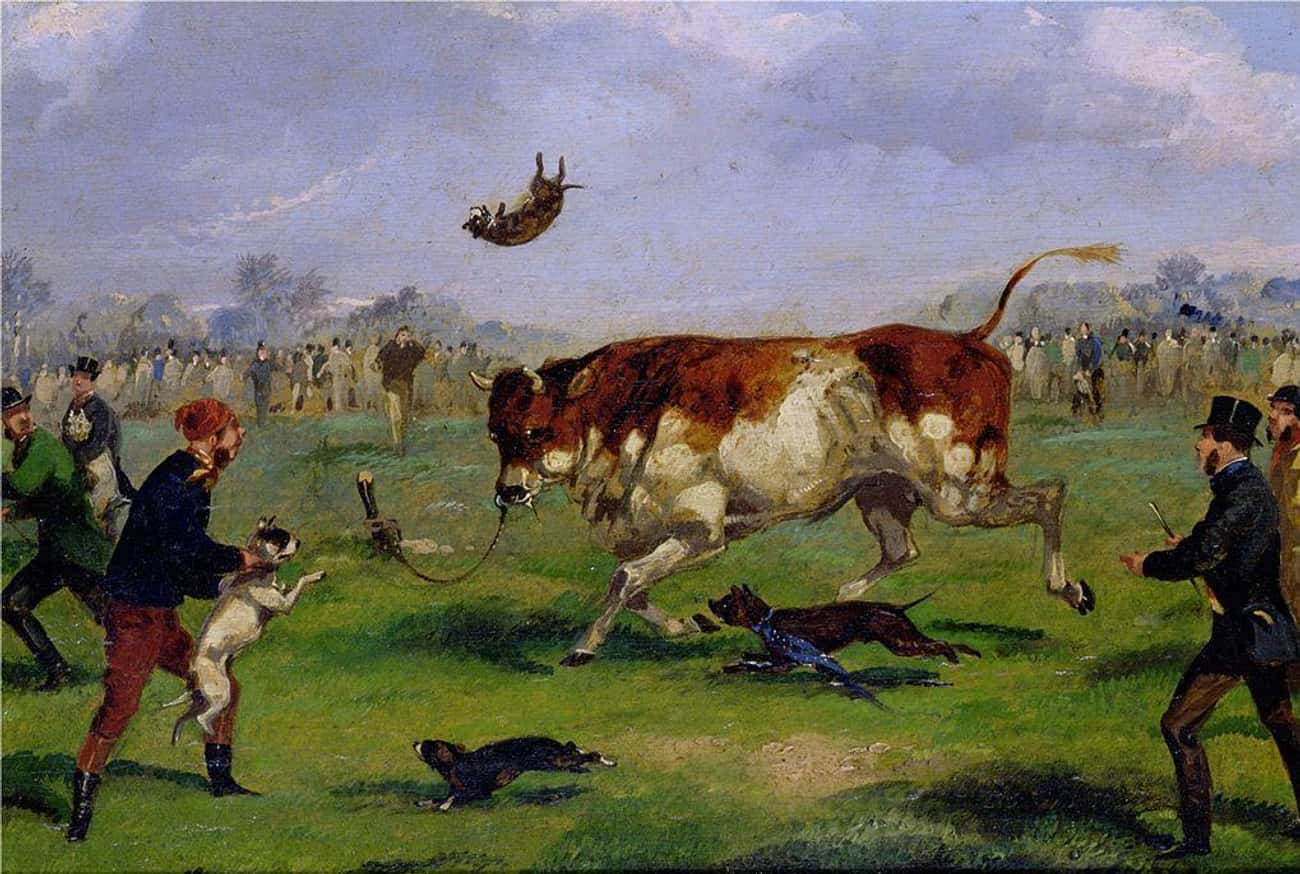 Dogs Were Specially Trained For A Popular Sport, Bull-Baiting