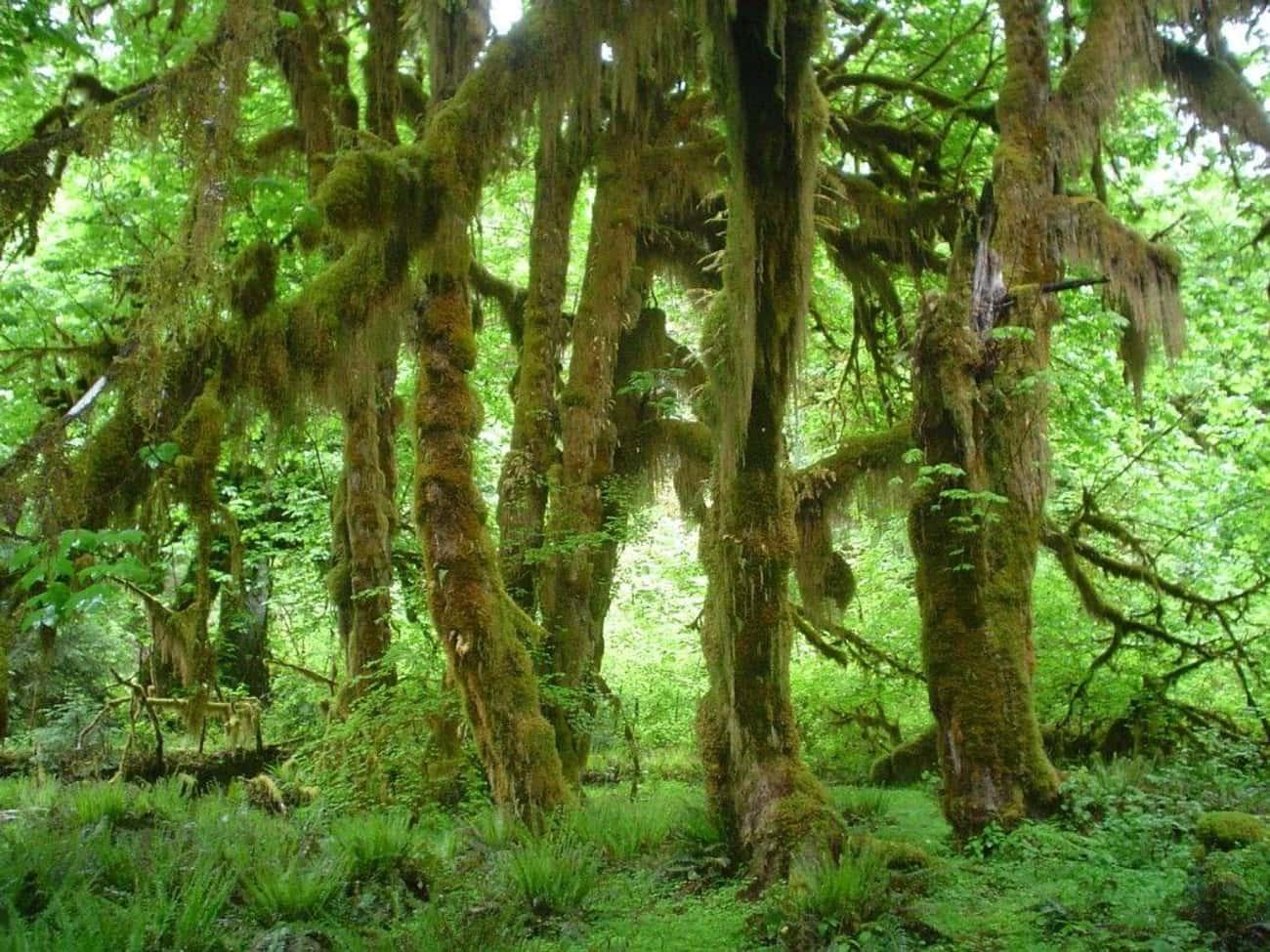 The Sasquatch Who Became A Tree