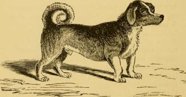 Turnspit Dogs Were Bred To Hav... is listed (or ranked) 3 on the list Dogs Used To Be Tortured To Cook Food For Poor People