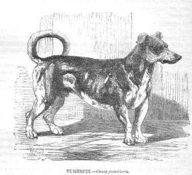 """Turnspit Dogs Looked """"Suspicio is listed (or ranked) 2 on the list Dogs Used To Be Tortured To Cook Food For Poor People"""