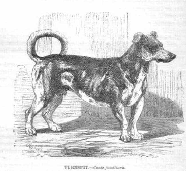 Turnspit Dogs Looked