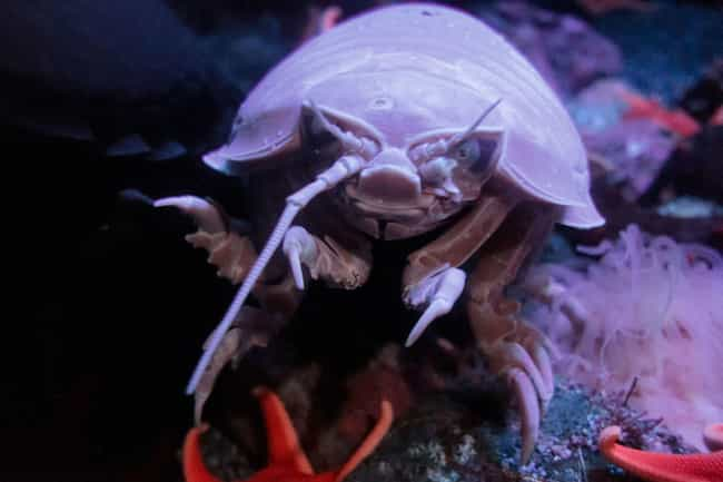 The Deep Ocean Is Their ... is listed (or ranked) 2 on the list 11 Freaky Facts AboutBathynomus Giganteus, The World's Largest Isopod
