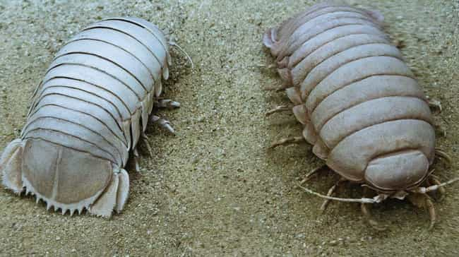 Giant Isopods Can Be Hor... is listed (or ranked) 1 on the list 11 Freaky Facts AboutBathynomus Giganteus, The World's Largest Isopod