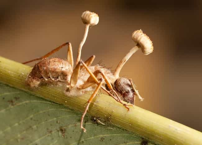 each-species-of-cordyceps-specializes-in-a-specific-host-photo-u1?w=650&q=50&fm=jpg&fit=crop&crop=faces