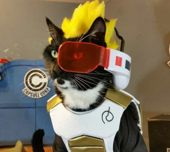 Vegeta, Purr'ince Of The... is listed (or ranked) 3 on the list 14 Cats Whose Anime Cosplay Is Better Than Yours