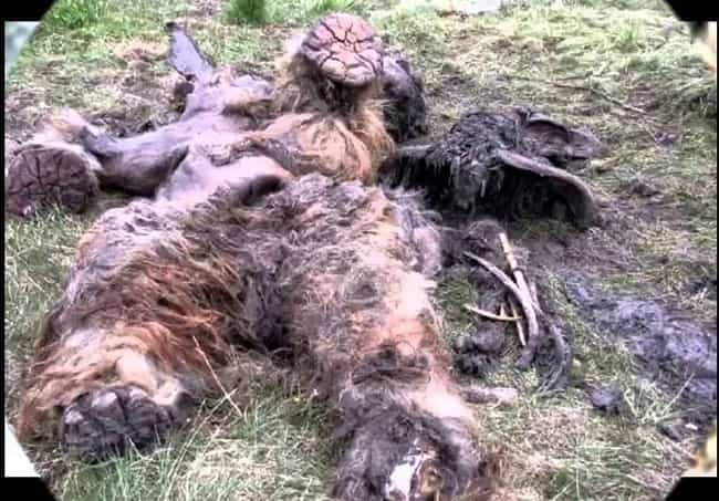 Big Foot Corpses found ?  The-decomposing-corpse-of-something-photo-u1?w=650&q=50&fm=pjpg&fit=crop&crop=faces