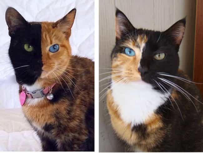 This Kitty Might Be A Chimera is listed (or ranked) 2 on the list 15+ Stunning Photos Of Animals With Heterochromia