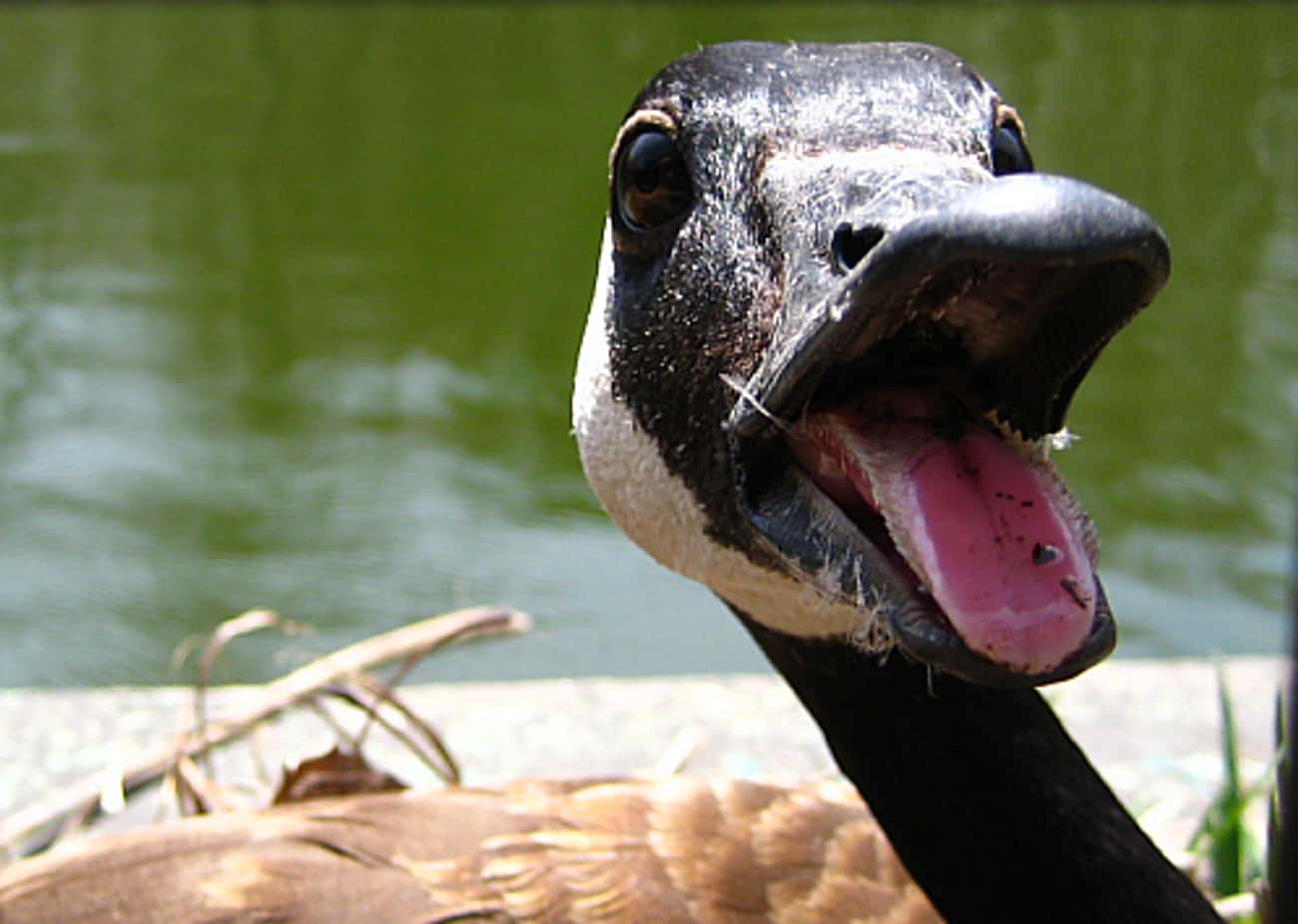 They're Loud And Obnoxious is listed (or ranked) 4 on the list Why Are Geese So Mean To People?