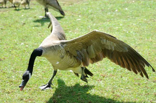They May Violently Attac... is listed (or ranked) 3 on the list Why Are Geese So Mean To People?