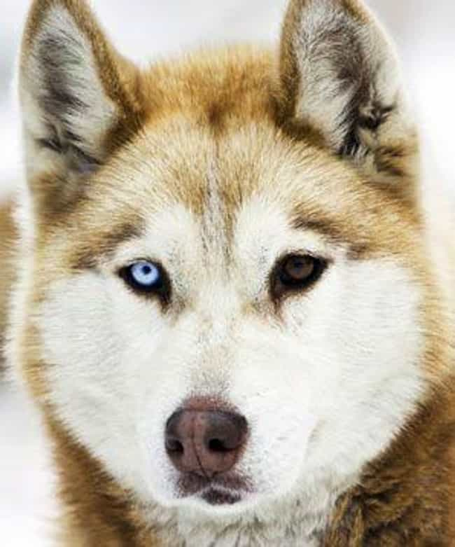 Huskies Often Have Heterochrom... is listed (or ranked) 4 on the list 15+ Stunning Photos Of Animals With Heterochromia