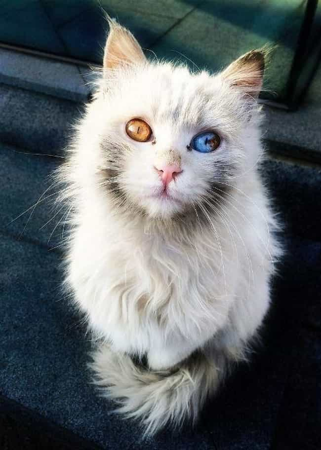 This Cat Has Eyes Like Marbles is listed (or ranked) 3 on the list 15+ Stunning Photos Of Animals With Heterochromia