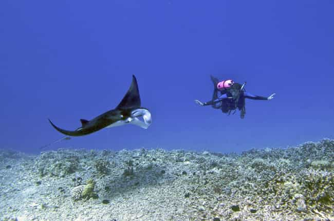 They Are The First Fish To Pas... is listed (or ranked) 2 on the list 12 Fascinating Facts Most People Don't Know About Majestic Manta Rays