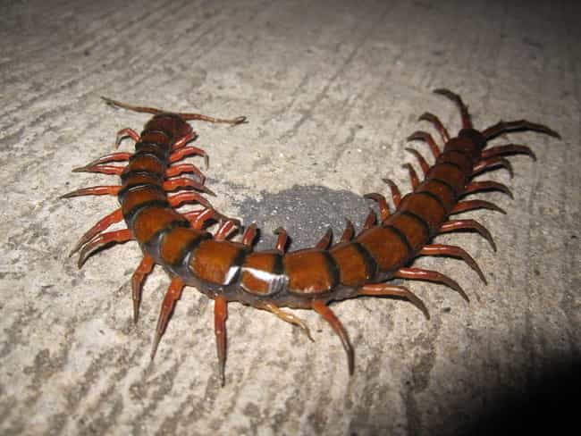 Amazonian Giant Centipedes is listed (or ranked) 2 on the list The 15 Most Terrifying Creatures Found In The Amazon River