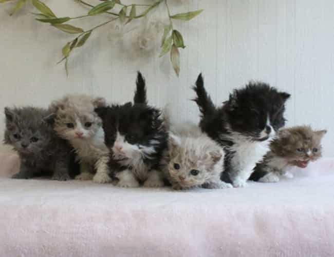 A Whole Litter Of Wavy L... is listed (or ranked) 4 on the list Curly Haired Cats Are The Internet's Latest Obsession