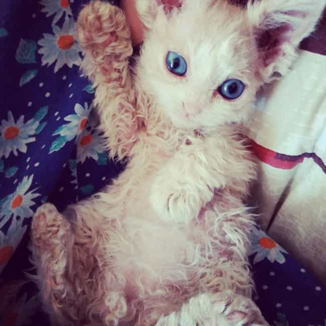 If You're Adorable And Y... is listed (or ranked) 2 on the list Curly Haired Cats Are The Internet's Latest Obsession