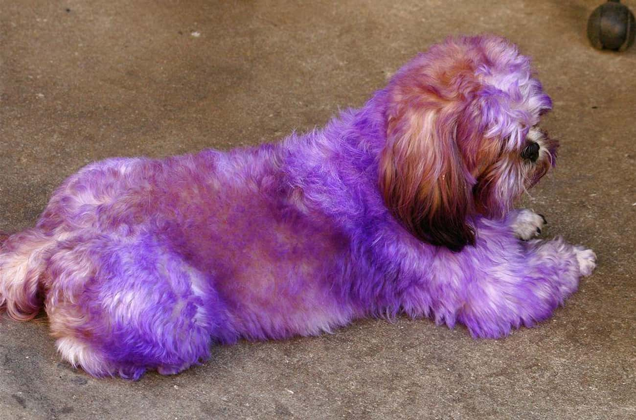 A Dog Gets No Amusement Out Of Being Purple Or Any Other Color