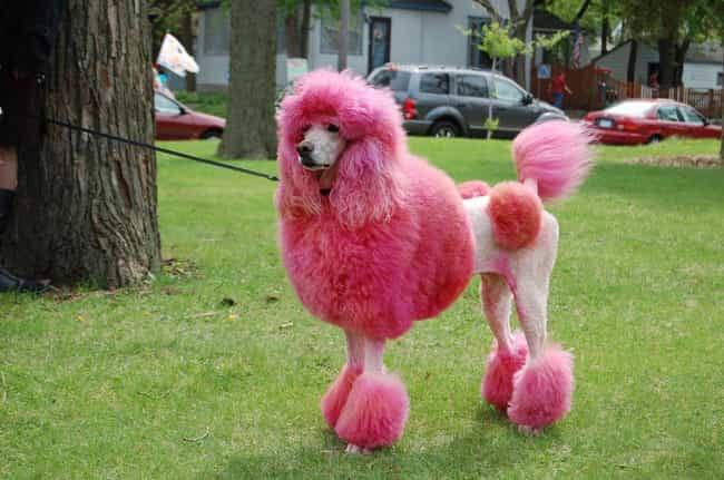 Hair Dyes Can Be Toxic To Your... is listed (or ranked) 1 on the list Why It's Horrible To Dye Your Dog's Fur