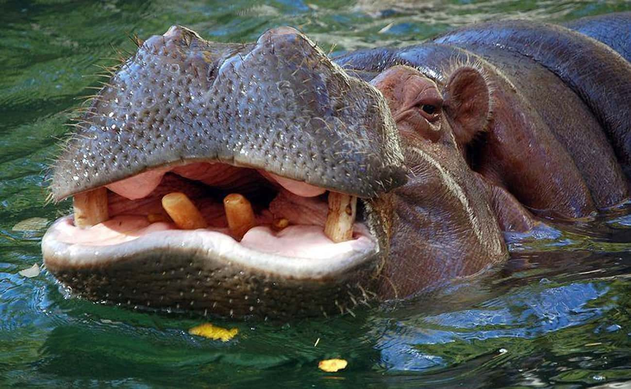 Hippos Are Sometimes Cannibals is listed (or ranked) 4 on the list No Matter How Cute They Might Appear, Hippos Are Extremely Dangerous Animals