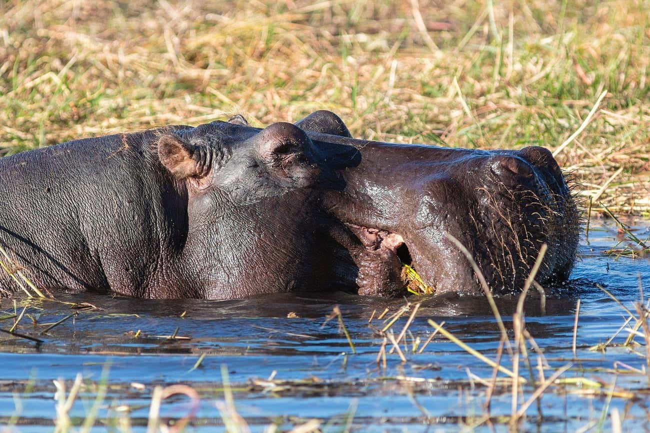 Hippos Are One Of The Most Dan is listed (or ranked) 1 on the list No Matter How Cute They Might Appear, Hippos Are Extremely Dangerous Animals