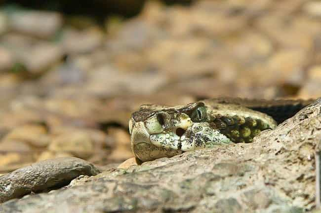Pit Vipers is listed (or ranked) 4 on the list 13 Scary Animals And Bugs From The Amazon