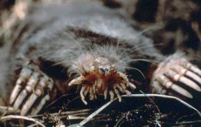 Star-Nosed Mole is listed (or ranked) 4 on the list 17 Creepy Eyeless Animals That Are Subtly Horrifying