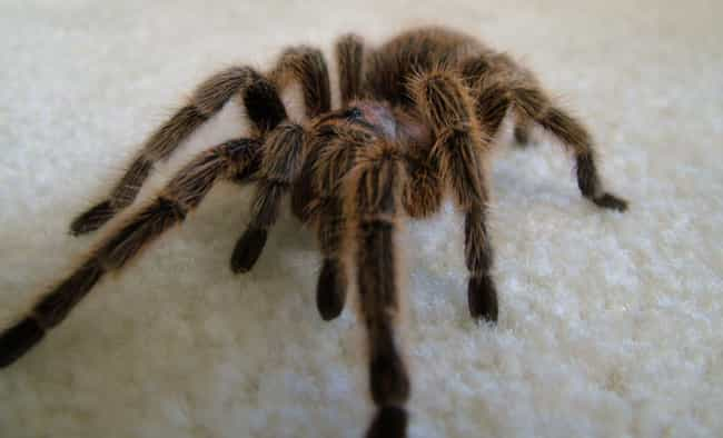 Chocolate Coated Tarantula is listed (or ranked) 3 on the list Spider Recipes People Really Use To Prepare Tasty Arachnid Meals