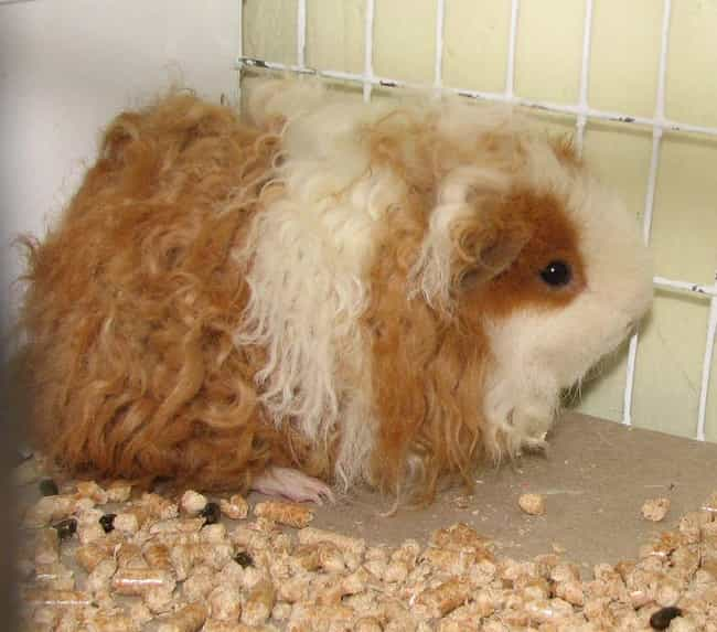 A Texel Gunea Pig With A Rex M... is listed (or ranked) 3 on the list This Bizarre Genetic Mutation Makes Every Animal Look Like A Sheep Hybrid