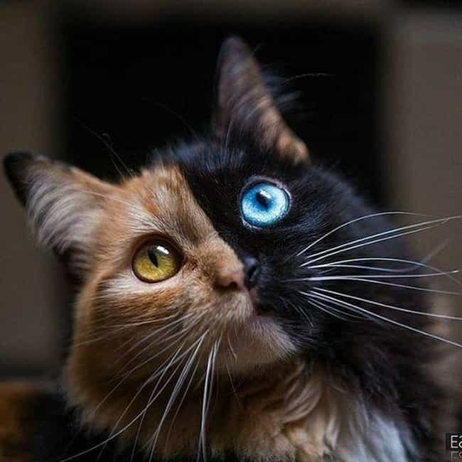A Gorgeous Chimera Cat ... is listed (or ranked) 1 on the list 16 Unique Chimera Animals You Won't Be Able To Stop Looking At