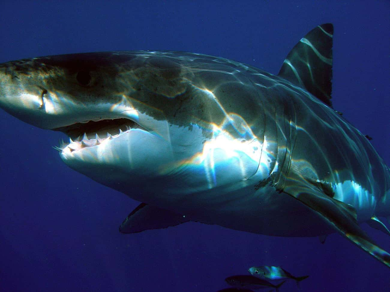 Even Great White Sharks Can Be Victims