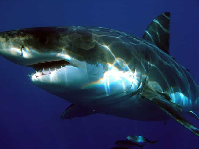Even Great White Sharks ... is listed (or ranked) 1 on the list Orcas Are The Biggest Jerks In The Entire Ocean