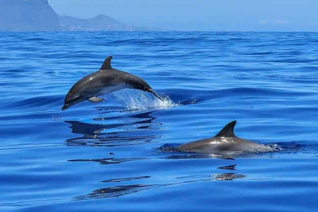 Dolphins Can Also Be Tar... is listed (or ranked) 4 on the list Orcas Are The Biggest Jerks In The Entire Ocean