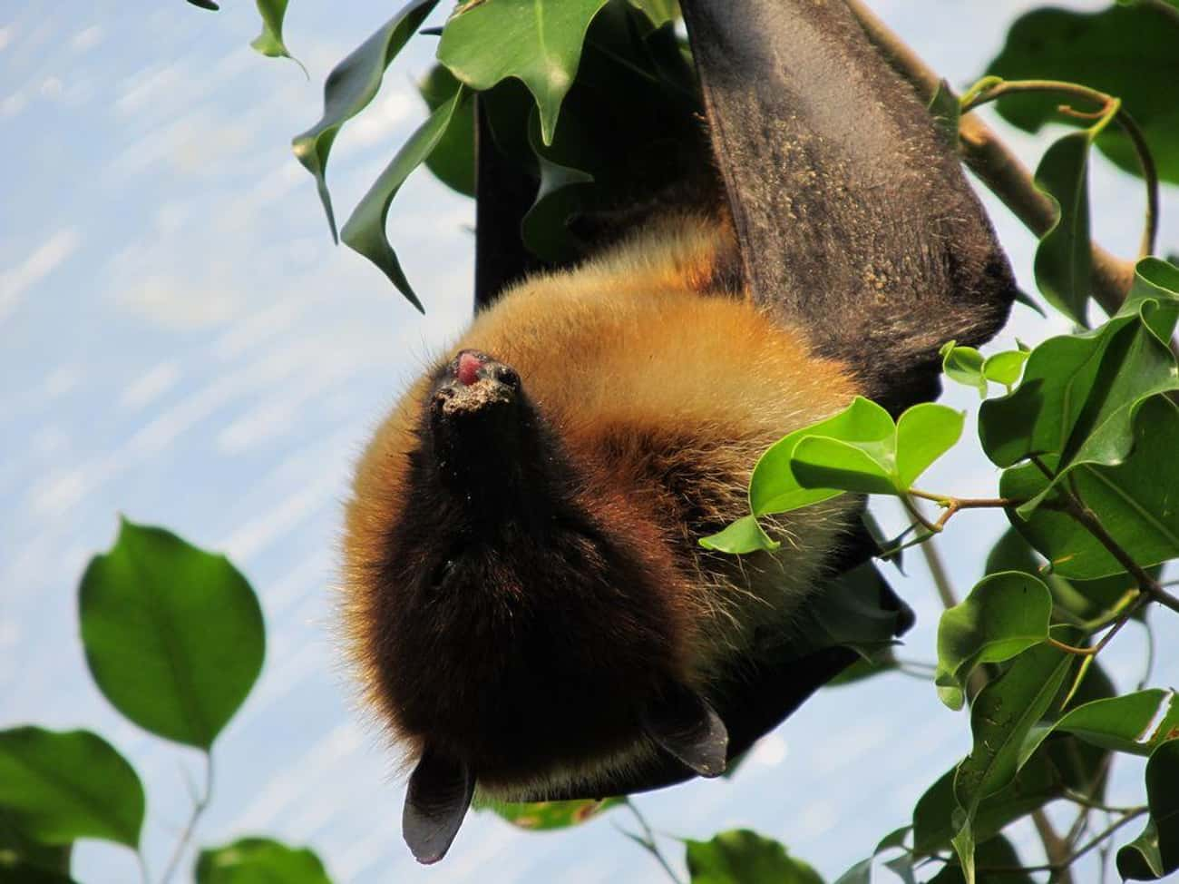Flying Foxes Are The World's L is listed (or ranked) 1 on the list Meet The Flying Fox - A Mammoth-Sized Gentle Giant