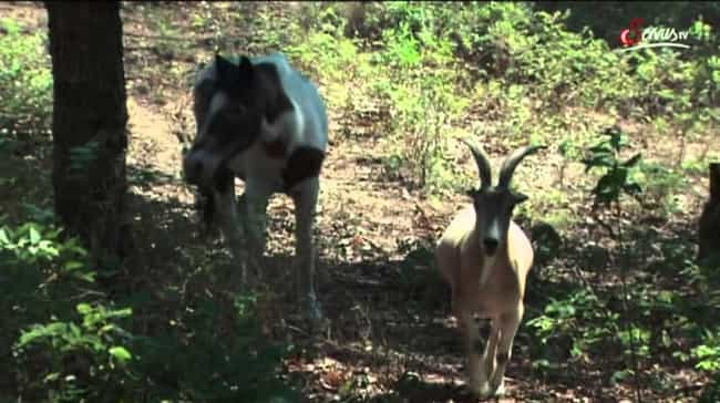 A Horse Kept A Goat As A Seein... is listed (or ranked) 3 on the list These Amazing Animals Keep Other Animals As Pets