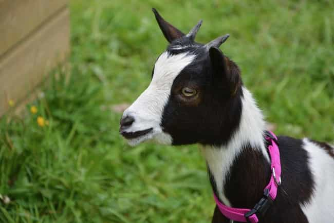 A Horse Kept A Goat As A... is listed (or ranked) 3 on the list These Amazing Animals Keep Other Animals As Pets