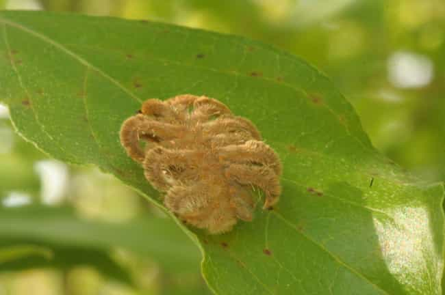 Hag Moth Caterpillar is listed (or ranked) 3 on the list Rare Animals That Look Fake But Are In Fact 100% Real