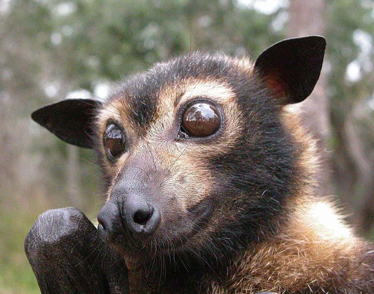 Flying Foxes Don't Use Echoloc is listed (or ranked) 4 on the list Meet The Flying Fox - A Mammoth-Sized Gentle Giant
