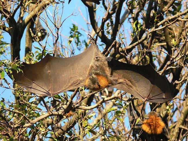 The Flying Fox's Wingspa... is listed (or ranked) 5 on the list Meet The Flying Fox - A Mammoth-Sized Gentle Giant