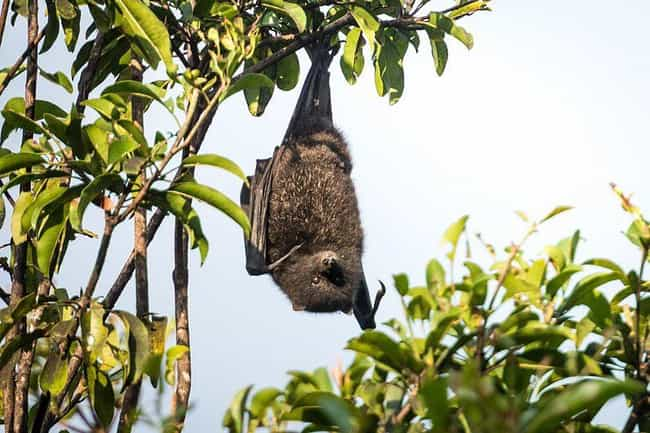 Flying Foxes Are Forest ... is listed (or ranked) 7 on the list Meet The Flying Fox - A Mammoth-Sized Gentle Giant