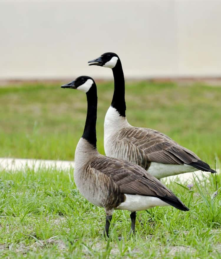 Monogamy Is Not 'Natural' In Humans The Way It Is In Geese