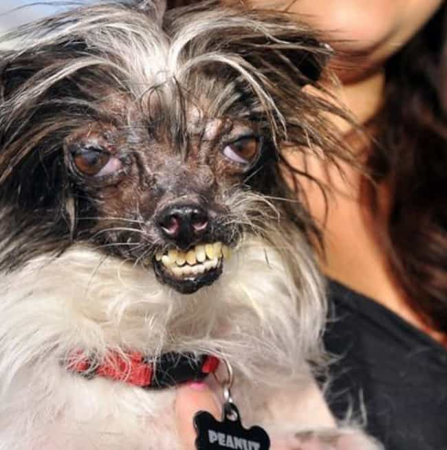 Peanut, Winner 2014 is listed (or ranked) 2 on the list These Are Some Winners Of The World's Ugliest Dog Contest