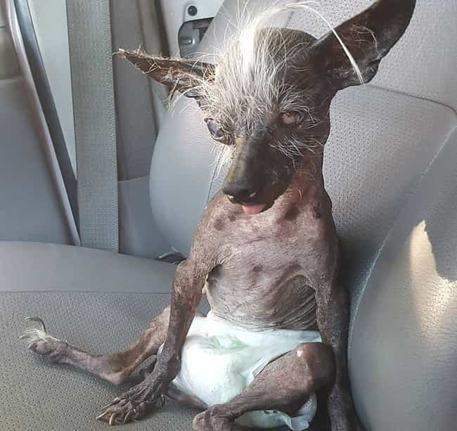 Sweepee Rambo, Winner 20... is listed (or ranked) 3 on the list These Are Some Winners Of The World's Ugliest Dog Contest