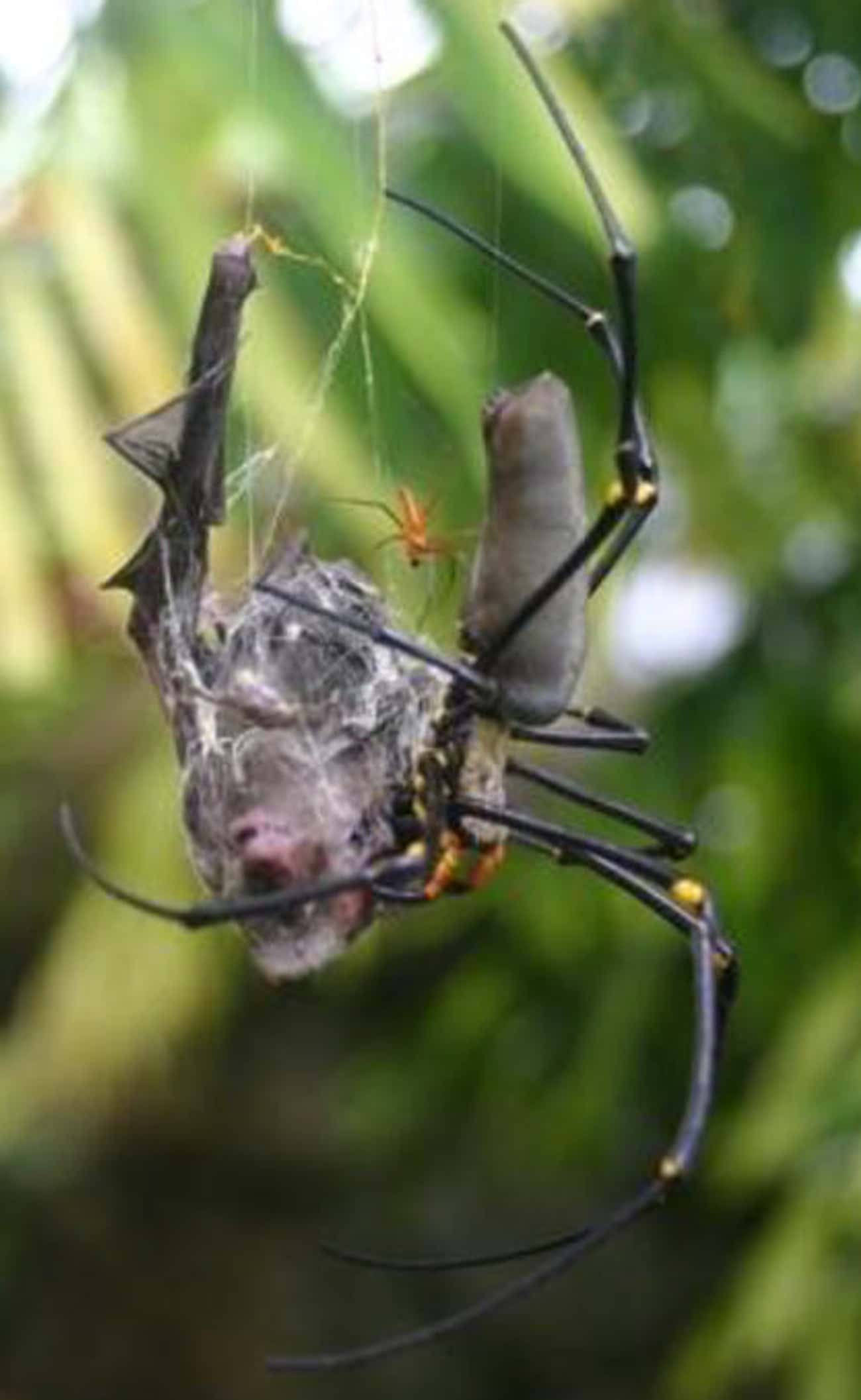 Their Durable Webs Can Catch B is listed (or ranked) 1 on the list Giant Orb Weaver Spiders Exist, And They're Terrifying
